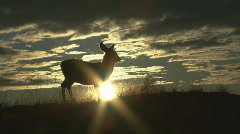 P00912 Young Mule Deer at Sunrise Stock Footage