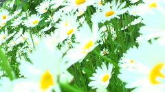 JHD - Seasons - Spring - Dangling Daisies 00138 Stock Footage
