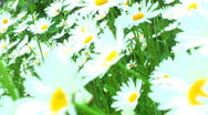 Stock Video Footage of jHD - Seasons - Spring - Dangling Daisies 00138