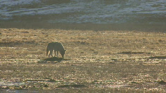 P00913 Coyote at Dawn Stock Footage