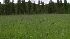 Camas Blooming Flower Field 1 Stock Footage
