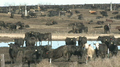 P00917 Cattle Feedlot Stock Footage