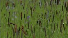 Camas Blooming Flower Field 2 Stock Footage