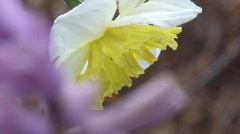 Daffodil close up  Stock Footage