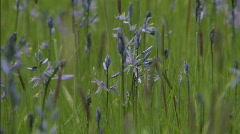 Camas Blooming Flower Field 3 Stock Footage