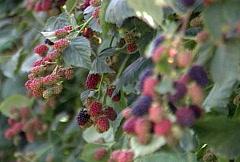 Stock Video Footage of Ripening Blackberries