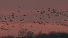 P00922 Sandhill Cranes Flying at Sunset Stock Footage