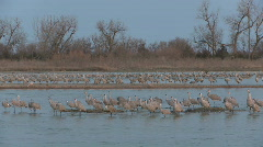 P00925 Sandhill Cranes on River Stock Footage