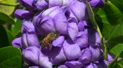 Bee On Mountain Laurel Stock Footage