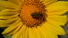 Bee Sunflower Close Up Stock Footage