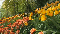 Holland tulips - stock footage