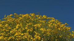 Brittlebush Bloom Stock Footage