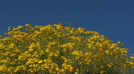 Brittlebush Bloom Stock Footage