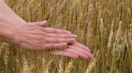 Hand Sifting Wheat 02 Stock Footage