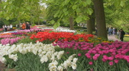 Stock Video Footage of Holland Tulips