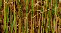 Golden Wheat Field 03 HD Footage