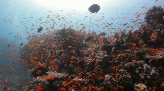 Red reef fish in strong current wider Stock Footage