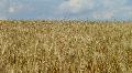 Wheat Field Against Sky Footage