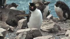 Rockhopper Penguin Falkland Islands Stock Footage