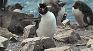 Stock Video Footage of Rockhopper Penguin Falkland Islands