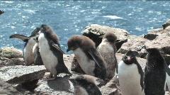 Rockhopper Penguin in the Falkland Islands Stock Footage