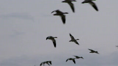 snow geese in flight - stock footage