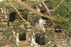 Puerto Rico - San Juan: Pigeons at Parque las Palomas 1 Stock Footage
