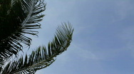 Palm Fronds in the Wind Stock Footage