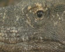 Komodo island close up Komodo dragon  Stock Footage