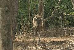 Komodo island a deer in the bushes2  Stock Footage