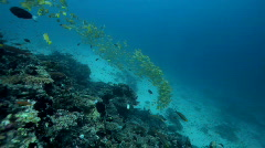 Divers diving through shoal of fish Stock Footage