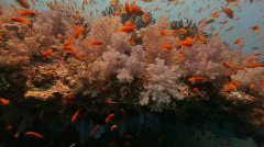 Diving along amazing soft coral reef Stock Footage