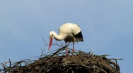 Stock Video Footage of White stork