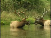 Stock Video Footage of 2 Bull Elk in pond