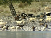 Stock Video Footage of grazing goats