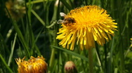 Stock Video Footage of Bee on dandelion