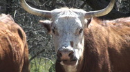 Cow Chewing Close Up Stock Footage