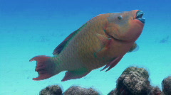 Parrot fish swimming against blue Stock Footage