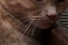 Napping cat - NTSC Stock Footage