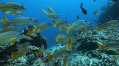 Shoal of big fish Stock Footage