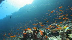 Small reef fish in strong current Stock Footage