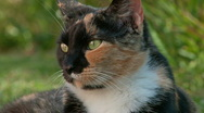 Tortoiseshell or calico cat portrait Stock Footage