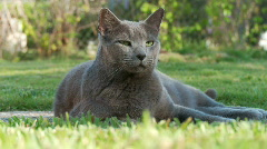 Russian Blue - stock footage