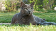 Russian Blue Stock Footage