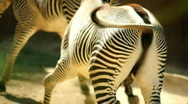 Zebra mating part  2 Stock Footage