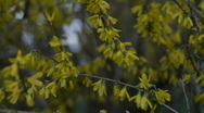 ForsythiaSunrise 03 Stock Footage