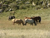Stock Video Footage of horse stands and grazes