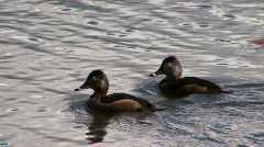 Ring-necked ducks, female  Stock Footage