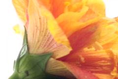 Zen rocks and Hibiscus zoom V2 - NTSC Stock Footage