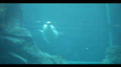 Stock Video Footage of baluga whale